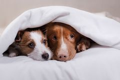 Two dogs under a blanket. Nova Scotia duck tolling Retriever and Jack Russell Terrier Stock Photography