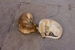 Two dogs in Varanasi Stock Photos