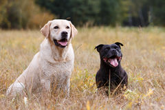 Two dogs of various breeds Stock Photos