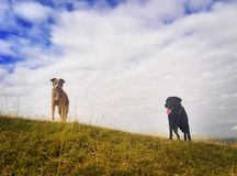 Two dogs wait on a hilltop to continue their walk. Mobile phone photo with some Instagram style processing Stock Photos