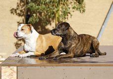 Two dogs waiting on the dock Stock Photography
