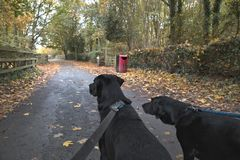 Two dogs on walk in Autumn. Rear view of two black dogs on walk in Autumn Royalty Free Stock Photos