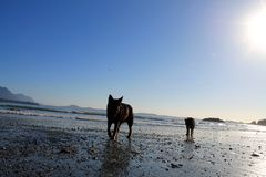 Two dogs walk the ocean shoreline on a brilliant sunny day. Royalty Free Stock Photo