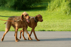 Two Dogs Walking. Two brown dogs walking on leashes at park Stock Images
