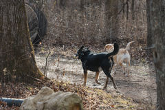 Two dogs walking down a wooded path. Black dog and a yellow dog walking on a wooded path Royalty Free Stock Photos