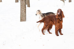 Two dogs walking Stock Photography