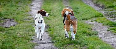 Two dogs walking together. Two dogs are best friends and walking together Stock Photo
