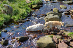 Two dogs in water Royalty Free Stock Images