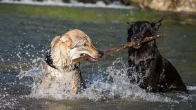 Two dogs in the water contending a branch Royalty Free Stock Photography