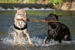 Two dogs in the water contending for a branch Royalty Free Stock Images