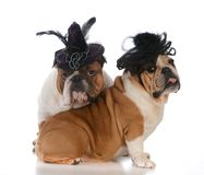 Two dogs wearing hats. Two bulldogs wearing fancy hats on white background Stock Photo
