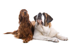 Two dogs on white. Close up of Saint Bernard and Irish Setter dogs lying on ground together, isolated on white background Royalty Free Stock Photography