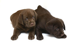 Two dogs on a white background. Two chocolate puppies . Two dogs Royalty Free Stock Image