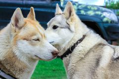 Two dogs: white hunting breed husky and husky sniffing each other. the idea of love and tenderness in the photo royalty free stock photo
