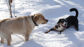 Two Dogs in the Winter Forest stock video footage