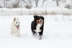 Two dogs on a winter walk Royalty Free Stock Photo
