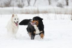 Two dogs on a winter walk Stock Photo