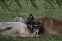 Two dogs playing. Two dogs wrestling and play fighting under a tree Royalty Free Stock Photo