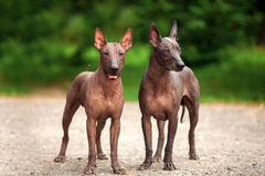 Two dogs of Xoloitzcuintli breed, mexican hairless dogs standing outdoors on summer day Royalty Free Stock Photography