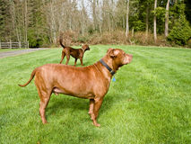 Two Dogs in the yard. A red nose pit bull and a coon hound dogs in the yard Stock Images