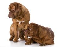 Two dogue de bordeaux puppies Royalty Free Stock Photos