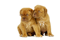Two Dogue De Boudeux Puppies Isolated on a white background Royalty Free Stock Photos