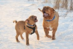 Two Dogues De Bordeaux Playing Stock Photo