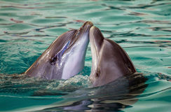 Two dolhins swimming together Royalty Free Stock Photography