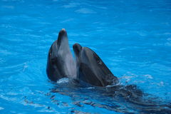 Two dolphin Stock Photography