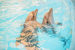 Two dolphin in basin of oceanarium Royalty Free Stock Photo