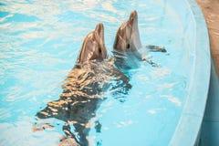 Two dolphin in basin of oceanarium Stock Photos