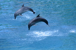 Two dolphin leap out of the water i Royalty Free Stock Photography