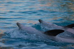 Two dolphin performing at the waterpark stock photography