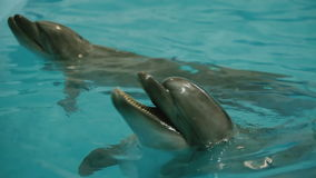 Two dolphin in the pool stock video footage