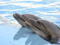 Two dolphin in the pool. Two dolphin swims in the pool in blue water Stock Photography