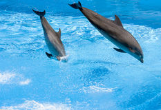 Two Dolphin's jumping out of water Stock Images