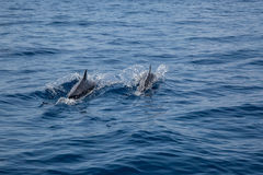 Two dolphin swim Stock Image