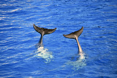 Two dolphin tails Stock Photos