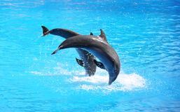 Two dolphins. Jumping in the blue water Royalty Free Stock Photography