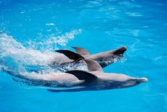 Two dolphins. (bottlenose dolphins) playing in an aquarium in the Dominican Republic Royalty Free Stock Images