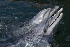Two dolphins. In the Utrish dolphinarium near Anapa Royalty Free Stock Image