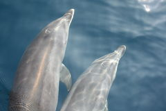 Two dolphins. A couple of dolphins in Gibraltar Stock Photos