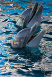 Two dolphins. Playing with the public Stock Photo