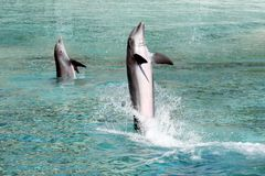 Two dolphins. Two Bottle Nosed Dolphins are out of the water Stock Photos