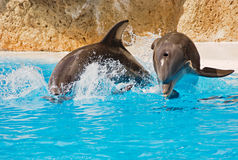 Two dolphins. Two  dolphins are swimming into the water Royalty Free Stock Photos