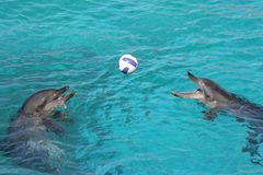 Two dolphins. Two bottle nose dolphins playing with a ball Royalty Free Stock Image