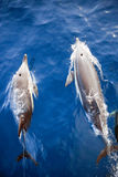 Two Dolphins From Above Stock Image