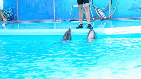 Two dolphins in the blue water. Two dolphins perform in the dolphinarium stock footage