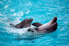Two Dolphins Close Up. Adler. Royalty Free Stock Photos