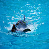 Two dolphins close up. Adler. Stock Images